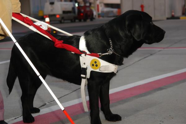 Athena, psička vodička