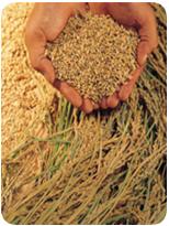 Weizenkeime-Vitamine-Energie